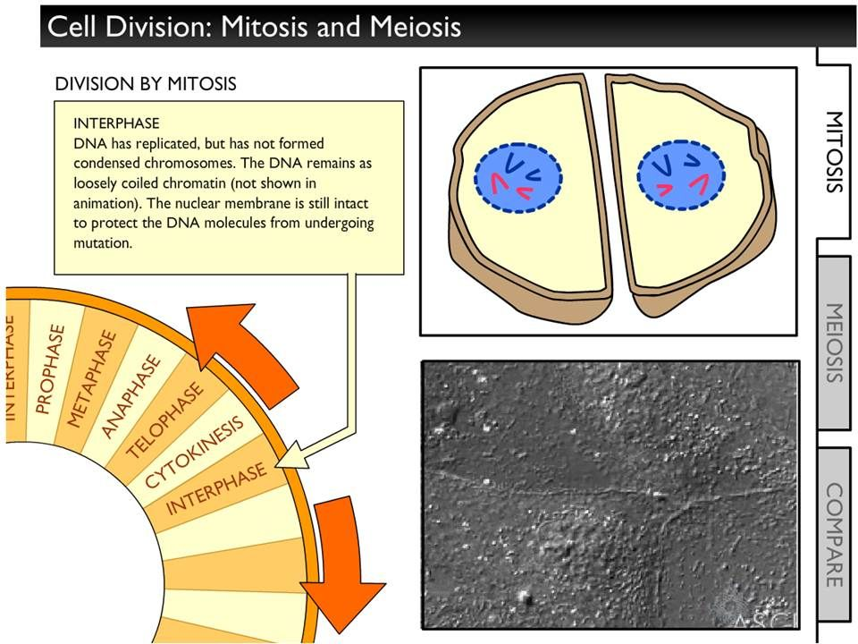 SEPUP Simulation Mitosis and Meiosis Info, animation, and