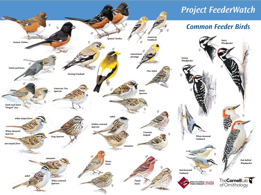 Project FeederWatch: Common Feeder Birds Mini-Poster (.pdf ...