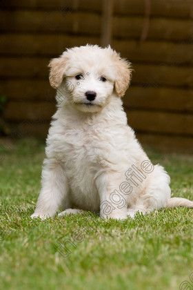 Pin By Karen Noyama On Dogs Border Collie Poodle Mix Puppy Time Bordoodle