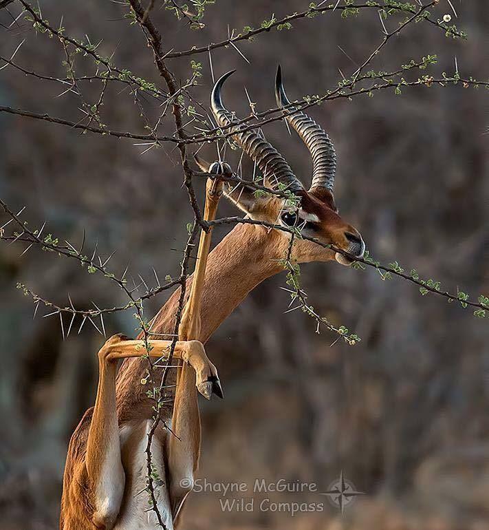 A gerenuk looking very bipedal.  Image by Shayne McGuire.