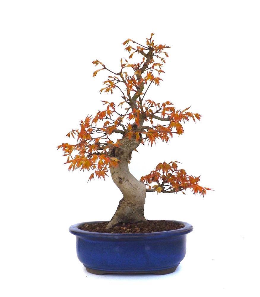 nouveau un superbe bonsai erable du japon ou acer palmatum. Black Bedroom Furniture Sets. Home Design Ideas
