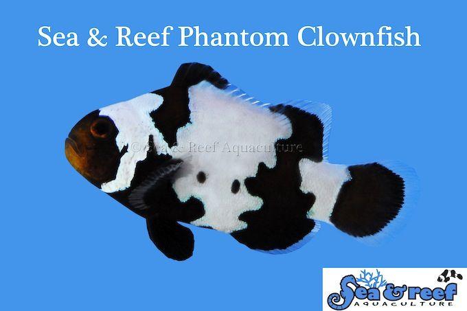 Black Ice Clownfish Phantom Clownfish From Sea Reef News Reef Builders The Reef And Saltwater Fish Tanks Clown Fish Reef Safe Fish