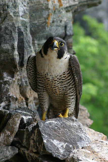 Peregrine Falcon Peregrine Falcon Rare Birds Zoo Photos