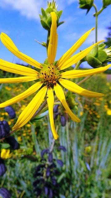 Hairy Sunflower Minnesota Landscaping Botanical Gardens Yellow Flowers