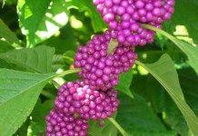 L'Arbre aux bonbons, un arbuste curieux pour votre jardin