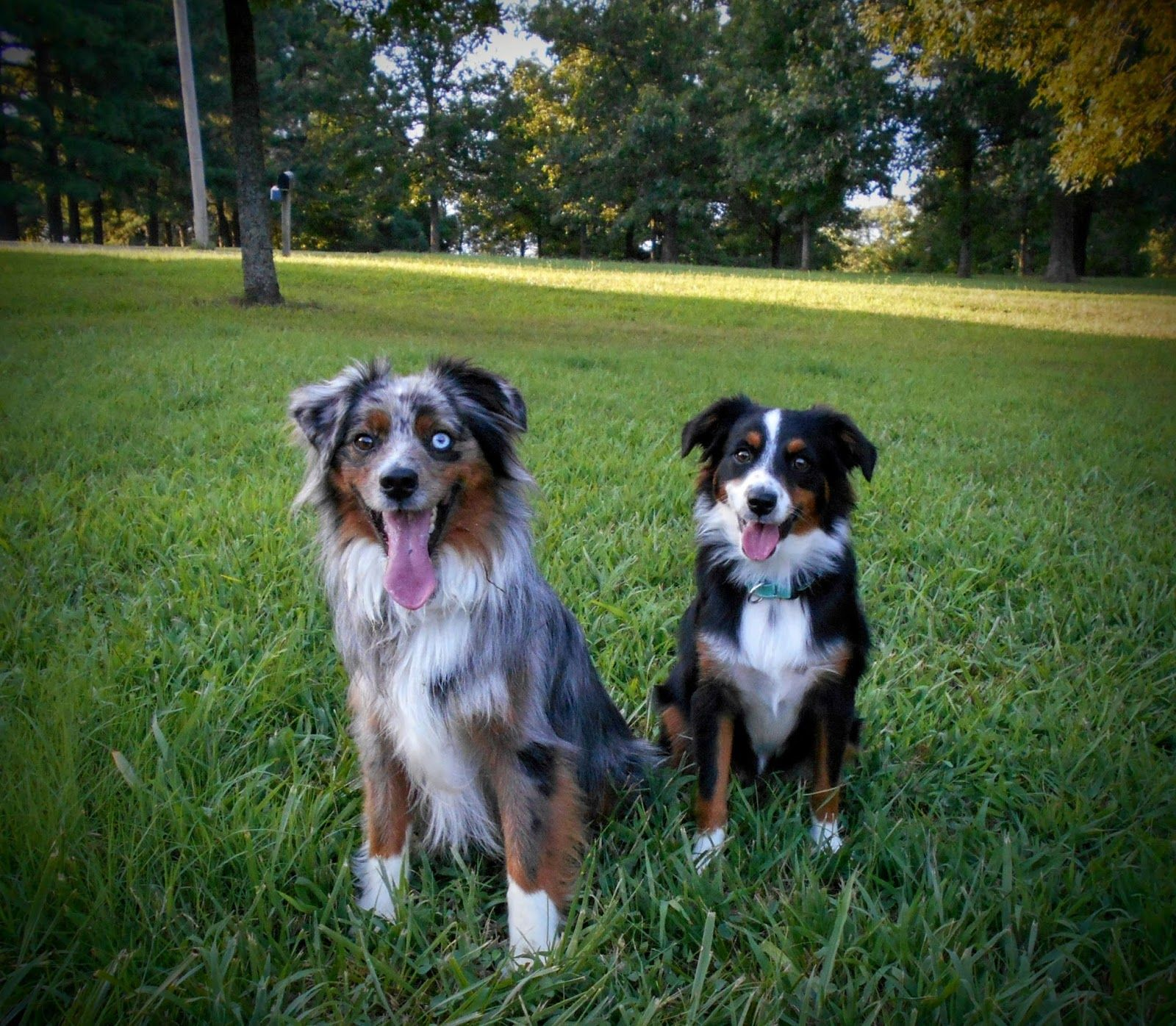 Blue Merle Toy Aussie Australian Shepherd Female With Blue Eyes Aussie Puppies Toy Australian Shepherd Shepherd Puppies