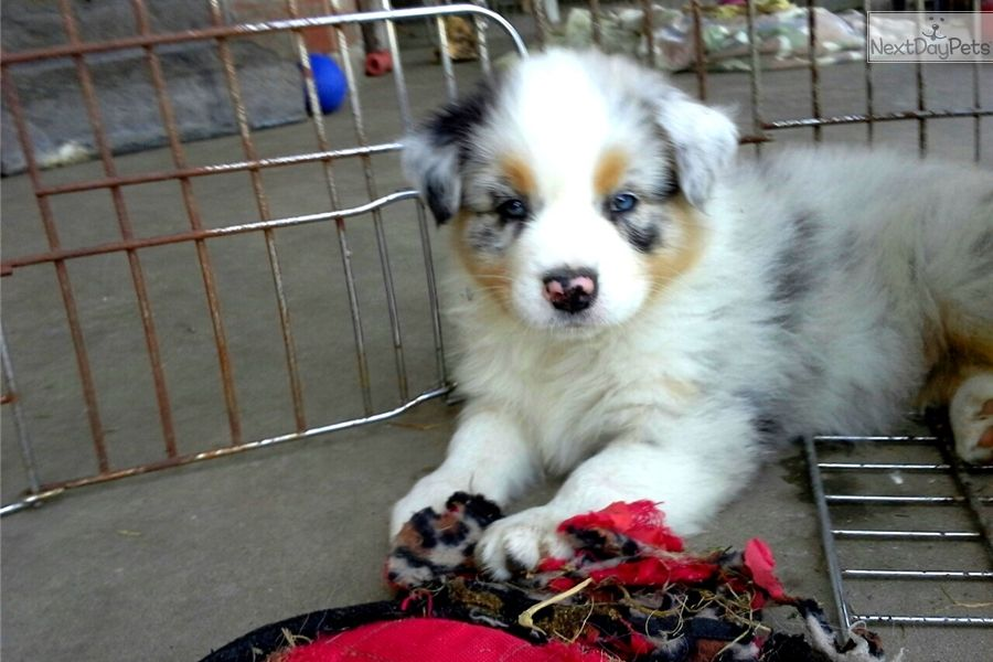 Beautiful Australian Shepherd Akc In Texas Australian Shepherd Australian Shepherd Puppies American Shepherd