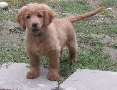 Guys This Is A Fully Grown Golden Cocker Retriever In Other