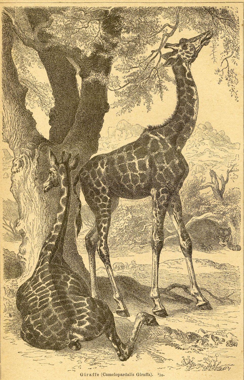 Antique Giraffe Wall Art - Giraffe Print - Antique Engraving C.1894 ...