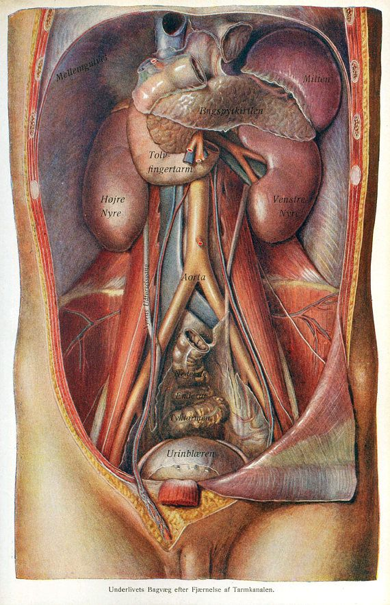 Vintage German Anatomical Dissection Poster Male Abdomen New Fine