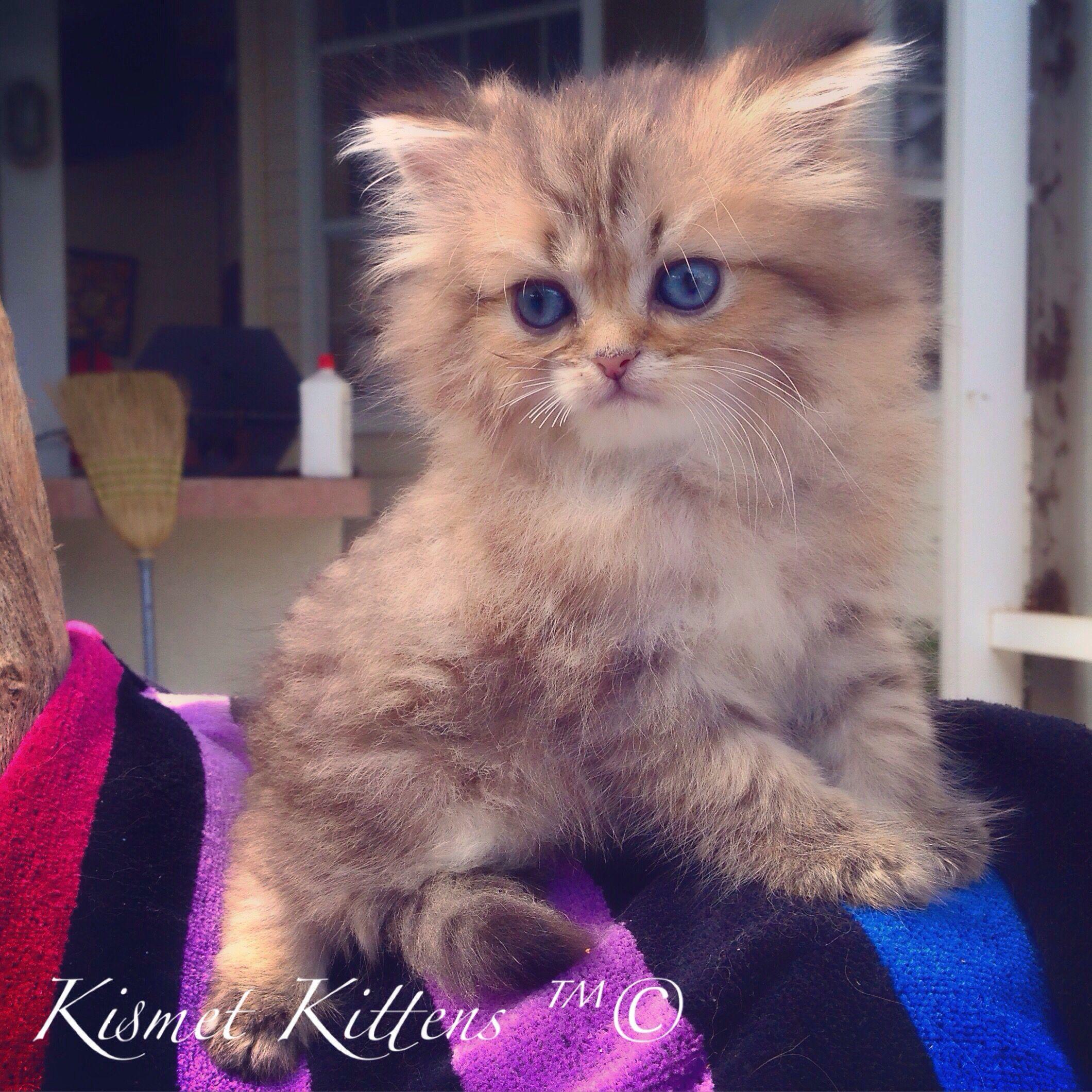 Kismet Kittens For Golden Chinchilla Shaded Doll Face Persian Kitten With Green Eyes Male Ready To Go Persian Cat Doll Face Cats And Kittens Persian Kittens