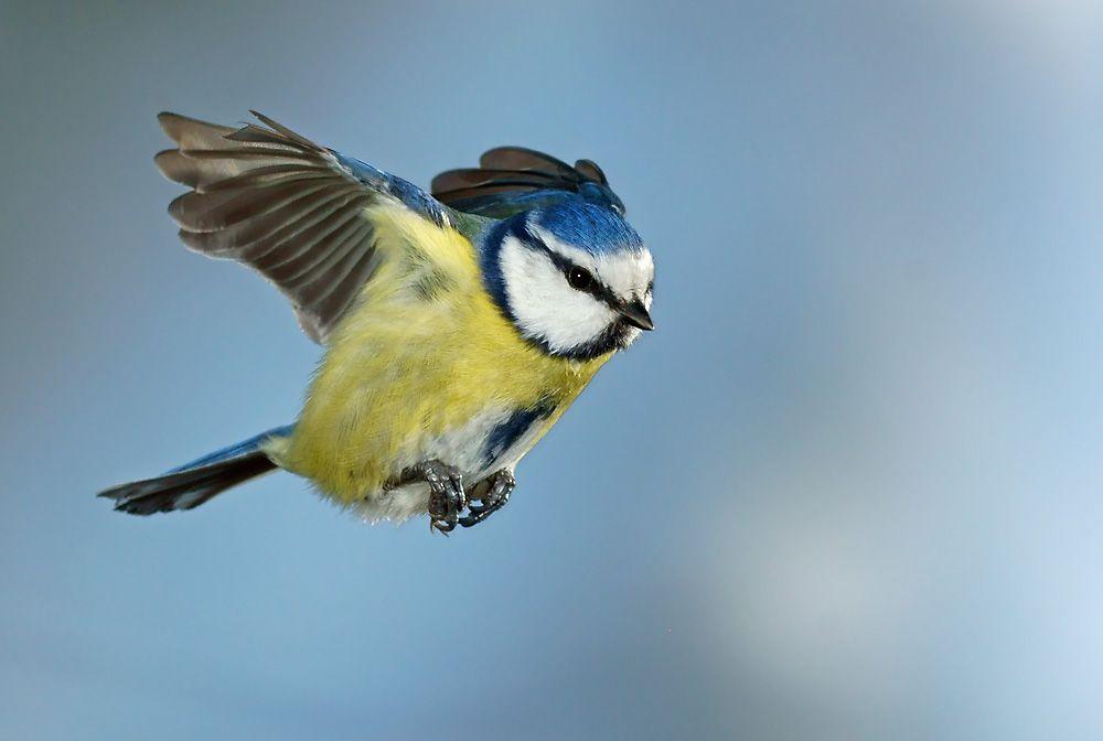 Im Anflug Forum Fur Naturfotografen Vogel Als Haustiere Blaumeise Schone Vogel