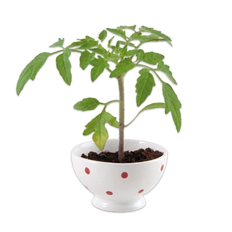 Tomates cerises à faire pousser- Nature et découvertes