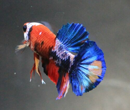 Thai Betta Live Fight Fish Red KOI Aqua Pet Home Office