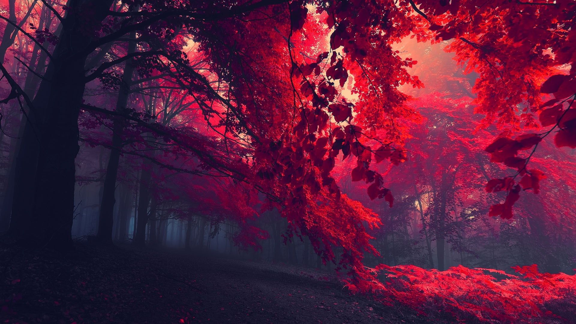 Black And Red Trees Sun Rays Through Red Trees Dark Red Nature Forest Trees Red Leaves Mist In 2020 Tree Hd Wallpaper Nature Wallpaper Autumn Leaves Wallpaper