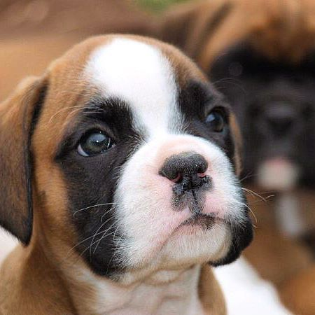 Monday Cuteness Therapy Boxer Puppies Boxer Puppies For Sale Boxer Dogs