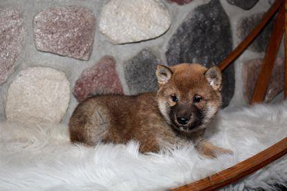 Red Sesame Shiba Inu Puppy Shiba Inu Shiba Inu Dog Shiba Inu Puppy