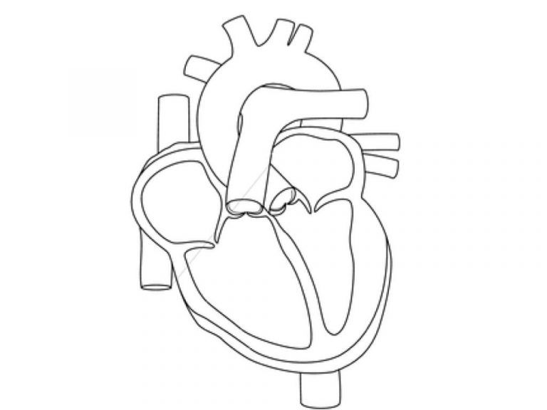 Heart Organ Coloring Page Kids Drawing And Coloring Pages