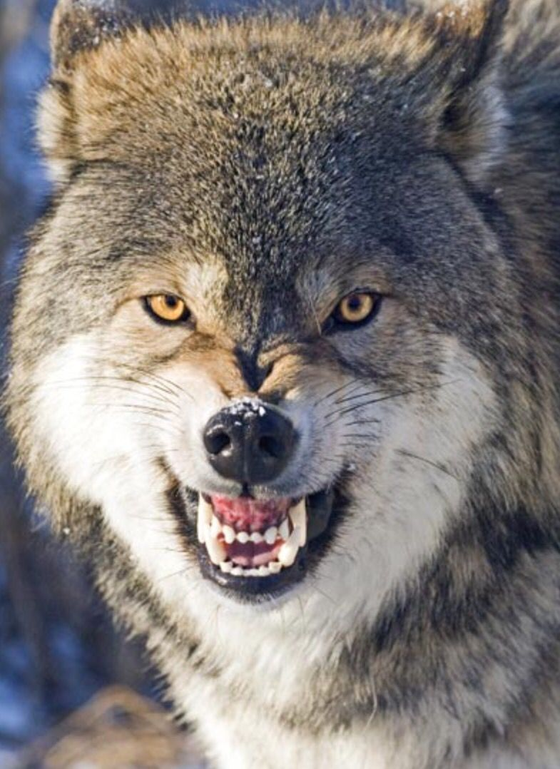 I brush twice a day wolves pinterest wolf animal and