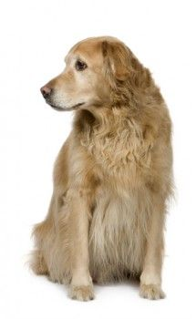 Natural Remedies For Dogs Hot Spots Lymphoma In Dogs Dogs Dog