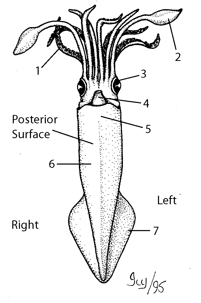 lab sheet  squid dissection