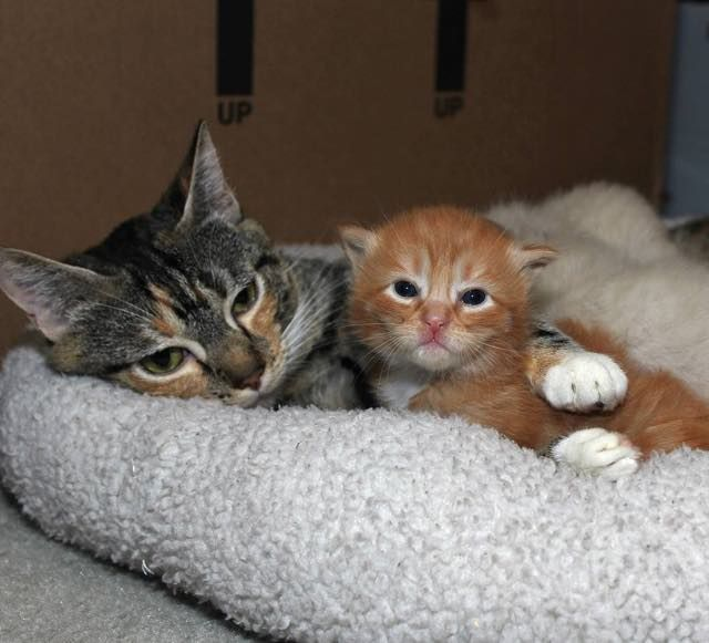 rescue stray calico cat mama saved day before birth of her kittens