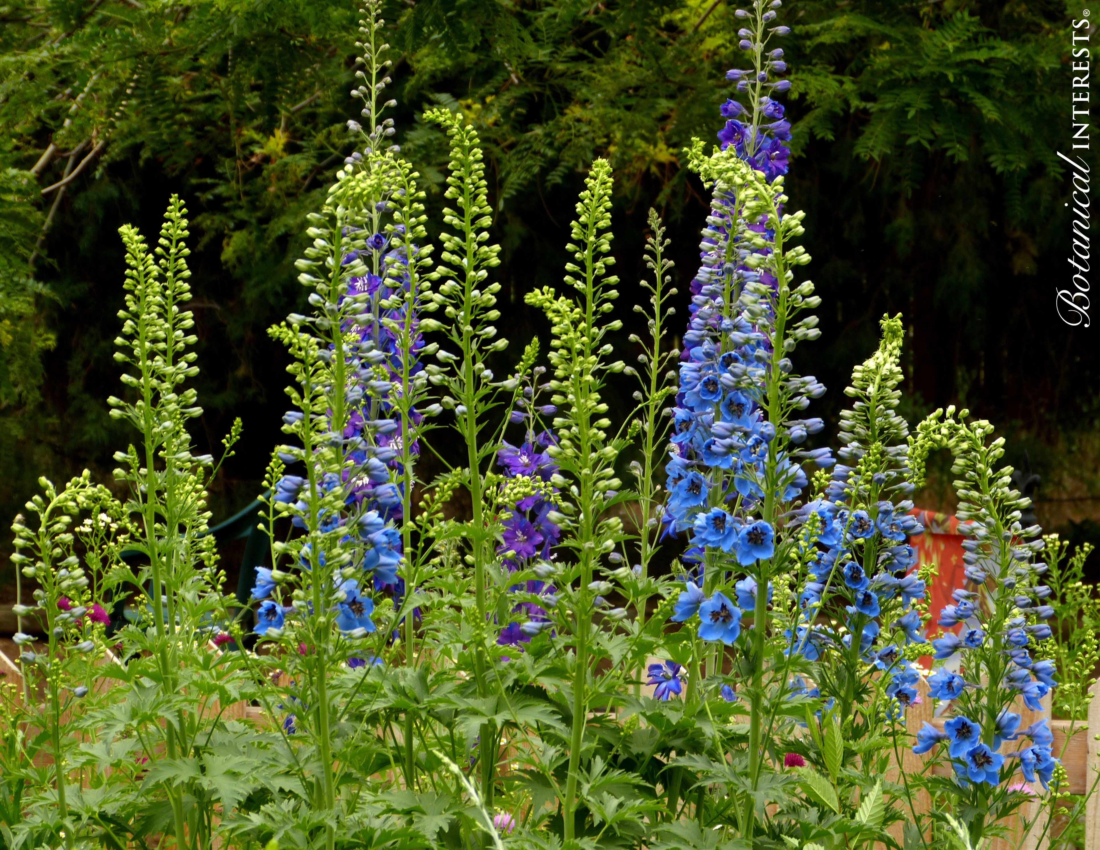"""The National Garden Bureau is calling 2016 """"The Year of the Delphinium"""", and I agree. Delphiniums bring coveted blues, deep purples, pinks and whites to the garden, not to mention they are pollinator magnets. Read more: http://www.botanicalinterests.com/biblog/category/in-the-garden/"""