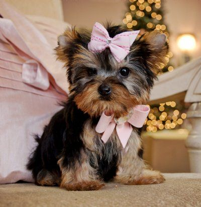 Teacup Yorkie In Pink Bitsy Is A Silver Teacup With Images