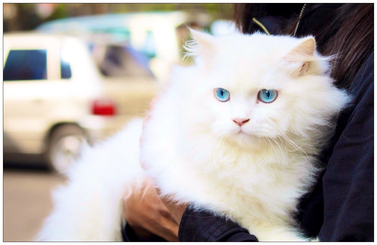 White Persian Cat With Beautiful Blue Eyes Persian Cat White Cat With Blue Eyes Persian Kittens