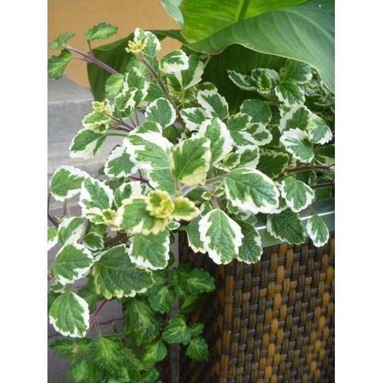 Komarzyca Plectranthus Sp Kupuj W Obi Plants Plant Leaves Garden