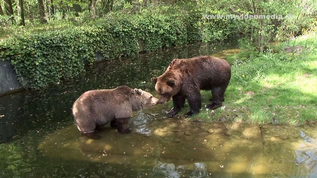 Brown Bears in Love.  See the video on http://www.youtube.com/user/myvideomedia1