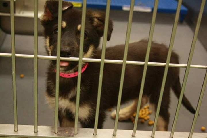 Adopted a257973 3mo old germ shep point female 158lb