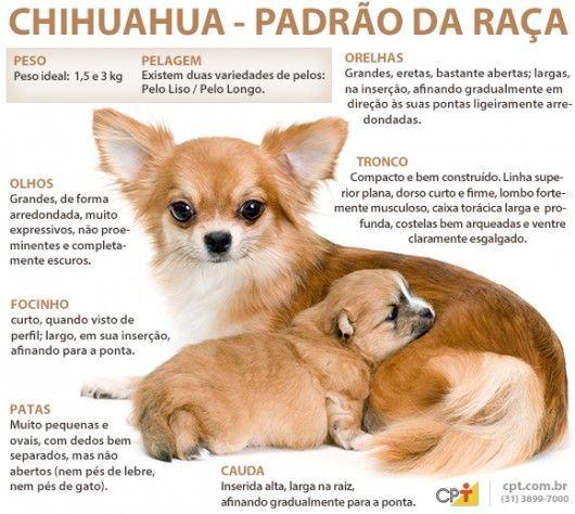 Padrão da raça Chihuahua  ee0f253de88