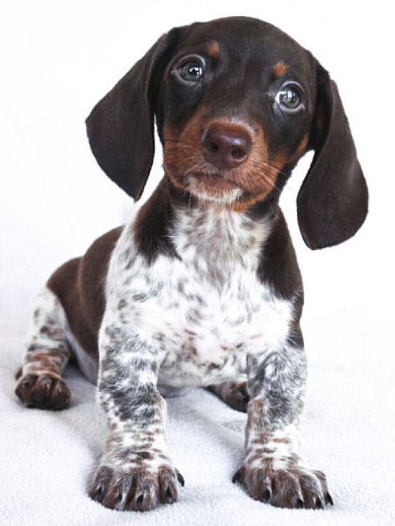 Black And White Piebald Dachshund : black, white, piebald, dachshund, Pattern:, Ticking, Present,, Color, Appear, White, Areas,, Varying, Amounts, Si…, Piebald, Dachshund,, Daschund, Puppies
