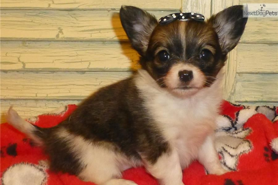 Papillon Chihuahua Female Puppy Trutty Papillon Puppy For Sale