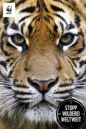 Du siehst einen Tiger Andere ein Potenzmittel Du siehst einen Tiger Andere ein Potenzmittel