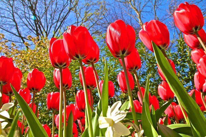 como visitar o jardim de tulipas na holanda turismo amsterdam viagem dicas passeios