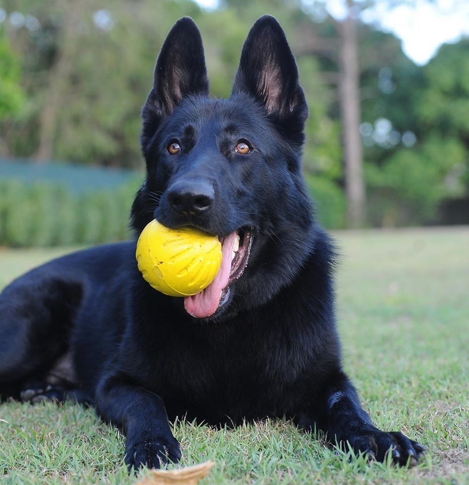 9 Things You Didn T Know About The Black German Shepherd Black