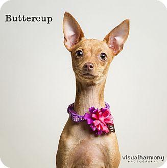 Chandler, AZ Chihuahua/Italian Greyhound Mix. Meet