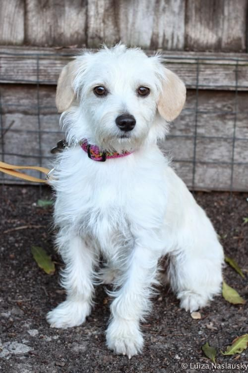 Bee Is A 6 Month Old Maltese Westie Mix Super Cute Dogs Maltese