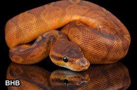 Beautiful ball python from Brian Barczyk of BHB and SnakeBytesTV.