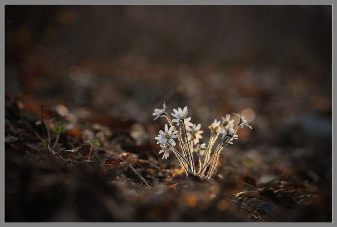 Hepatica asiatica: Photo by Photographer Choi SK - photo.net