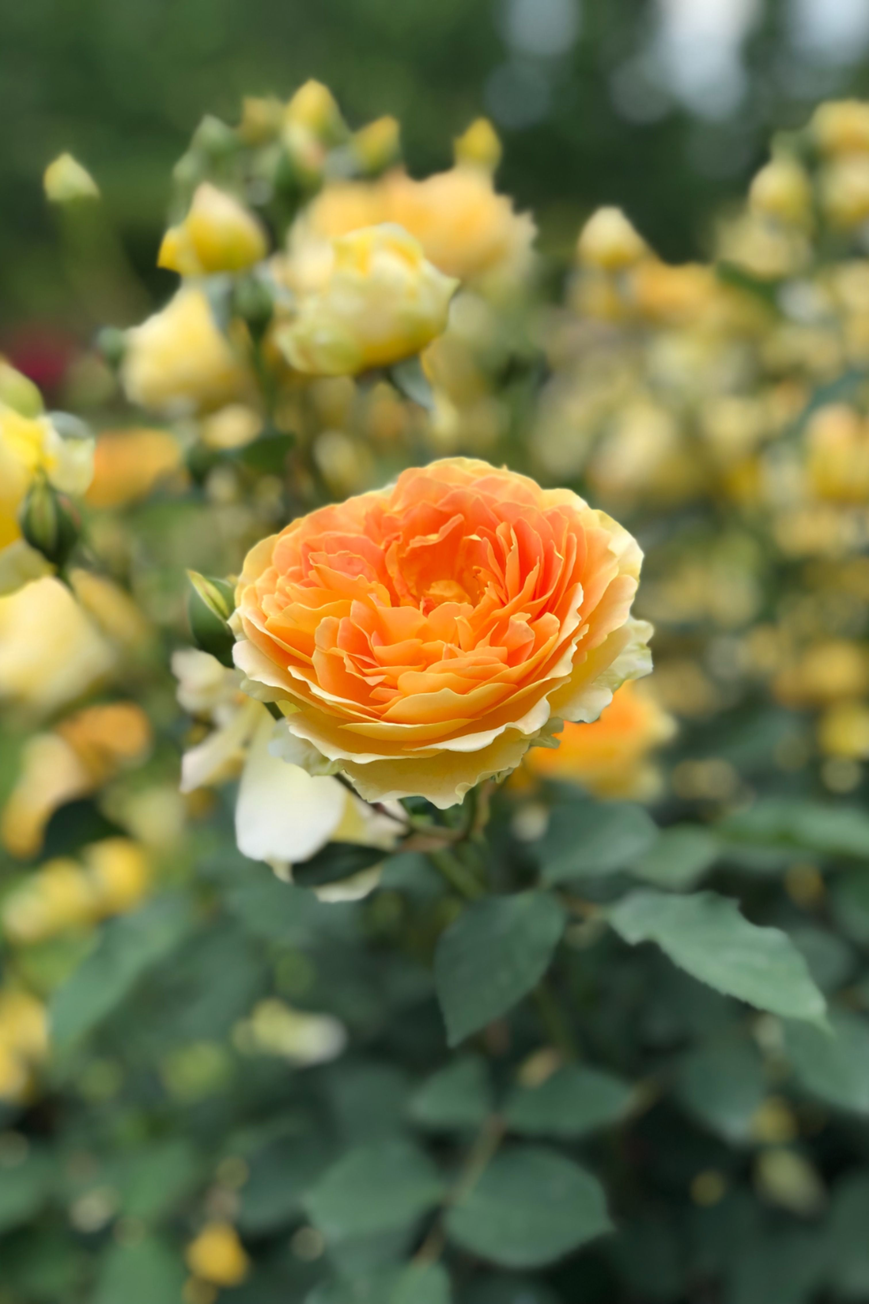 Pin On Roses For Your Garden