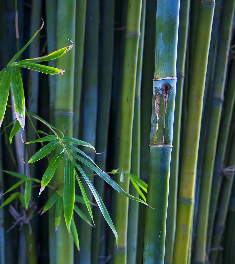 blue bamboo garden bamb jardines