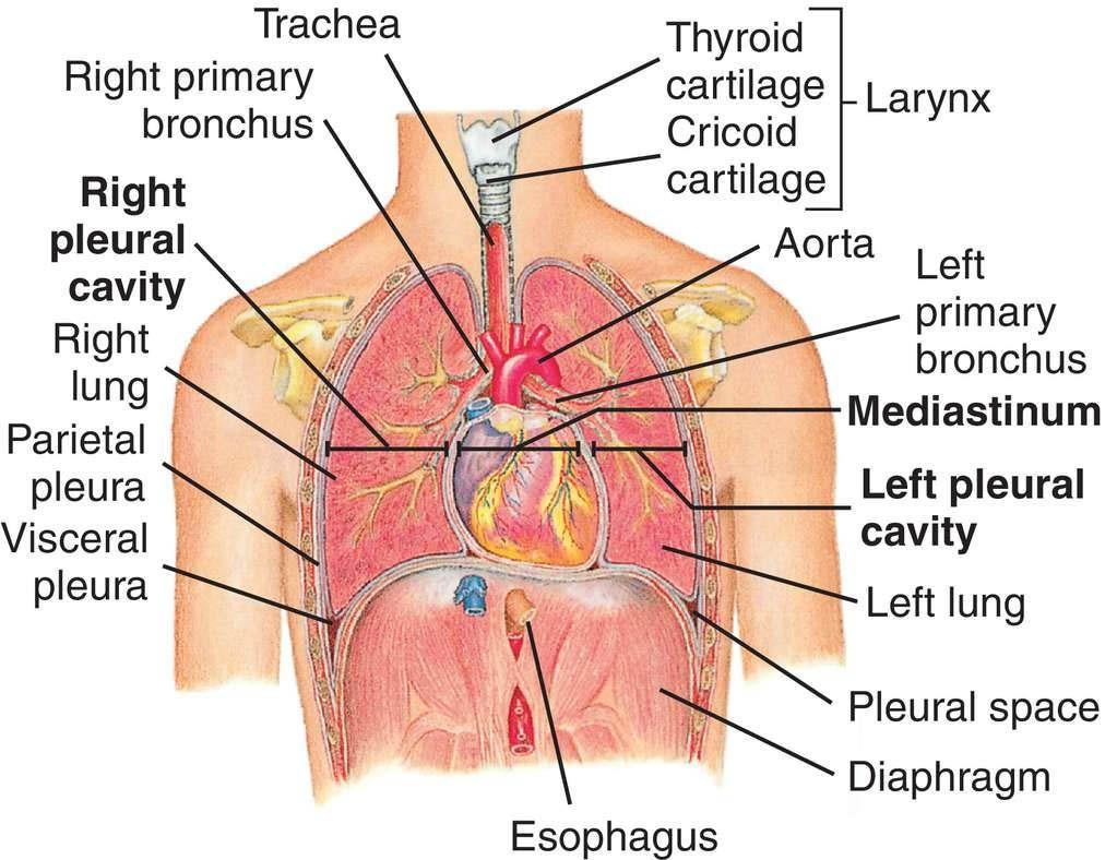 Thorax Organs Anatomy Anterior View Anatomy Note World Anatomy