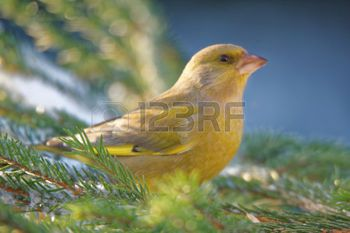 greenfinch: Greenfinch (Chloris chloris) is a small passerine bird in the finch family.