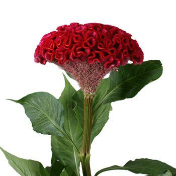 Celosia Fresh Dark Red Flowers Fiftyflowers Com Flower Seeds Celosia Flower Wholesale Flowers