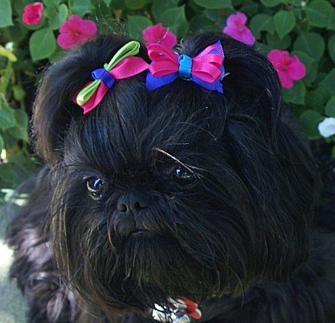 Shih Tzu Puppies For Sale Shih Tzu For Sale Black Shih Tzu Shih