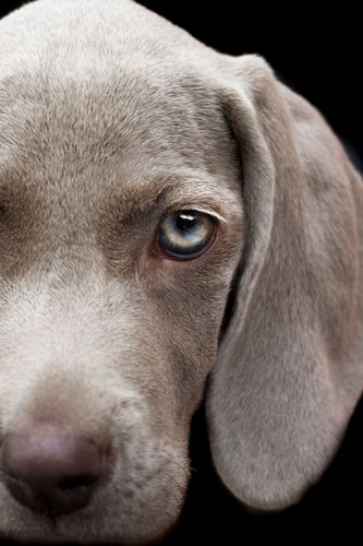 Studio Dogs Gallery Houndstooth Studio Animal And Pet Photography Perth Western Australia Weimaraner Puppies Weimaraner Dogs Dogs