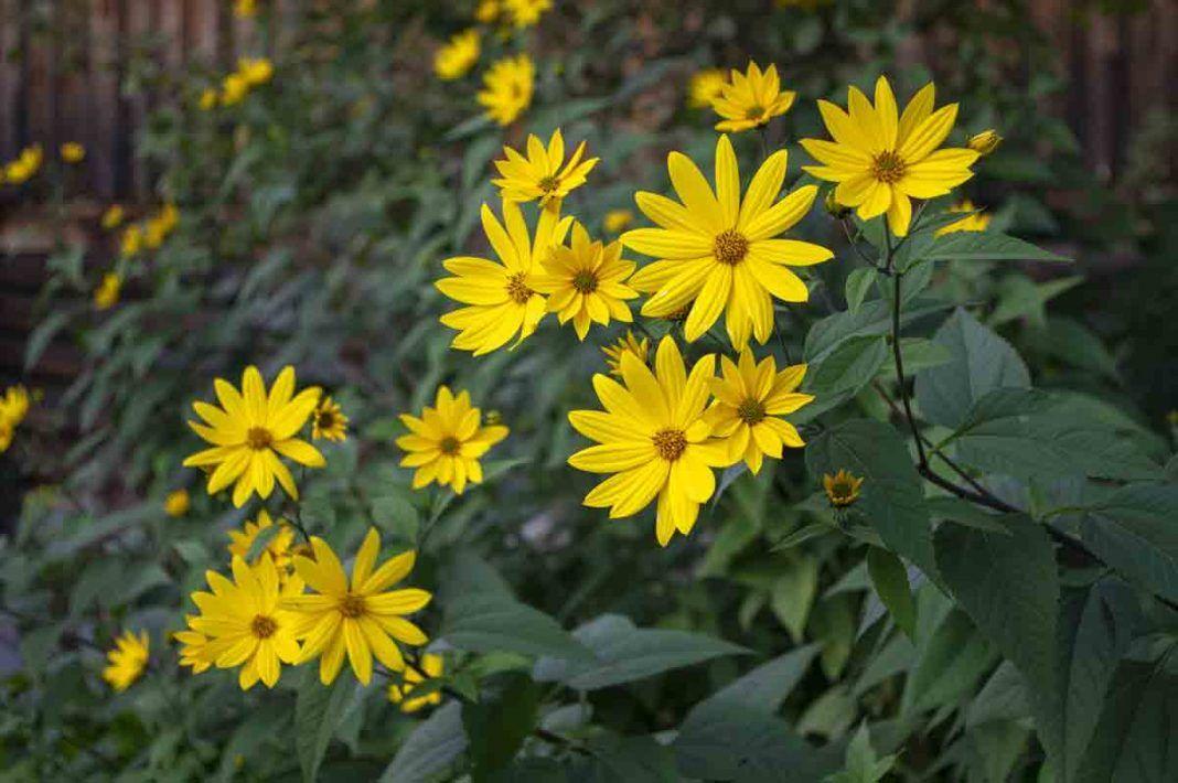 Steckbrief Topinambur Topinambur Steckbrief Und Garten